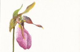 """Ladyslipper"" for Paulette"